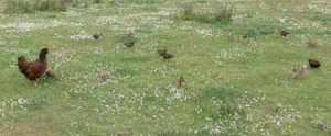 free range family of chickens
