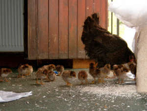 chickens are messy
