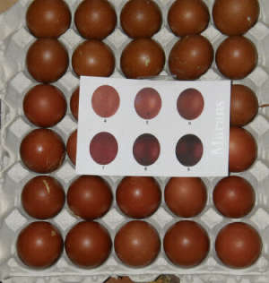 dark brown marans eggs