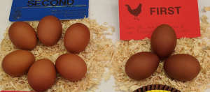 The stunning dark brown eggs of the marans chicken