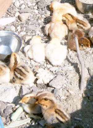 my chicks outside in the sun at 3 days old