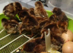 new baby chicks straight from theincubator