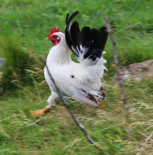 chickens can be fast and difficult to catch