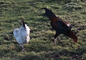 2 chickens dumped in my fields