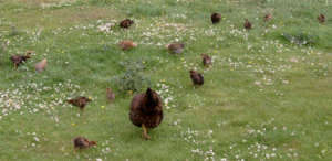 a free range hen with chicks