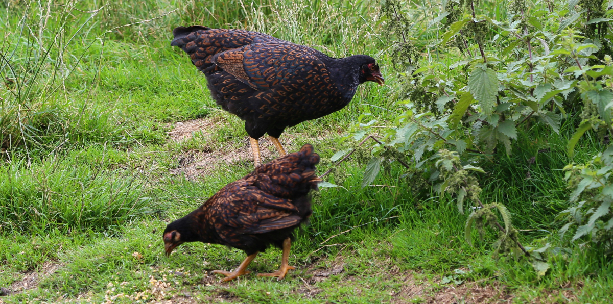 Why Do Hens Squawk And Cluck After Laying Eggs Pekin Bantams
