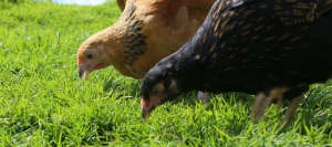 Free range hens are less likely to fight